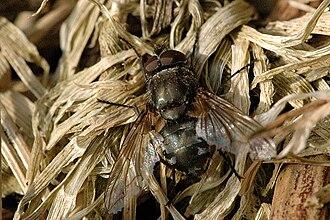Pollenia vagabunda - Image: Pollenia.vagabunda. .lindsey