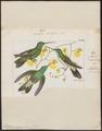 Polytmus linnaei - 1820-1860 - Print - Iconographia Zoologica - Special Collections University of Amsterdam - UBA01 IZ19100097.tif