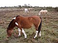 Ponies grazing on Hatchet Moor, New Forest - geograph.org.uk - 69282.jpg