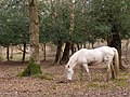 Pony in the woods, Park Hill, New Forest - geograph.org.uk - 398079.jpg