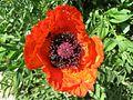 Poppy, Aghveran.jpg