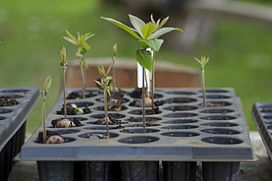 Positive phototropism in Quercus humboldtii seedlings.jpg