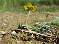 Potentilla anserina (subsp. anserina) sl5.jpg