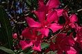 Pouzolles - Nerium oleander-001.jpg