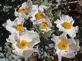 Prickly Poppy 07 (3811008473).jpg