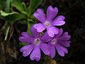 Primula integrifolia (9708076089).jpg