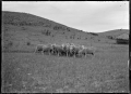 Prize merino rams at Mendip Hills sheep farm, Hurunui District. ATLIB 284065.png