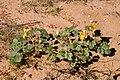 Proboscidea althaeifolia - Flickr - aspidoscelis.jpg