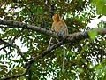 Proboscis Monkey (Nasalis larvatus) (8071087343).jpg