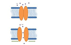 Mechanosensitive channels - Image: Prokaryotic stretch activated channel