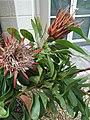 Protea cynaroides Madiba cultivar.jpg