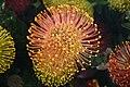 Proteas (222278018).jpg