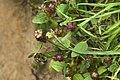 Prunella vulgaris-4497.jpg