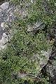 Prunus (Cerasus) tianschanica (Rosaceae) (33139559381).jpg