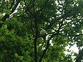 Psittacula krameriRichmondPark1.JPG