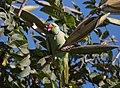 Psittacula krameri -Bangalore, India -male-8 (1).jpg