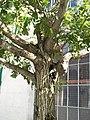 Pterocarya fraxinifolia 2.jpg
