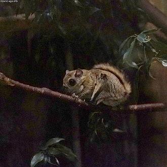 Japanese dwarf flying squirrel - Pteromys momonga in Ueno Zoo
