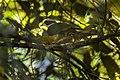 Ptilinopus fischeri - 01.jpg