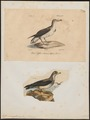 Puffinus anglorum - 1700-1880 - Print - Iconographia Zoologica - Special Collections University of Amsterdam - UBA01 IZ17900023.tif