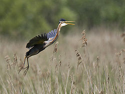 Purple heron2.jpg