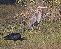 Purple heron eyes glossy ibis.jpg