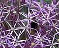 Purple stars (4699349064).jpg