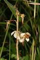 Pyrola rotundifolia PID1727-4.jpg