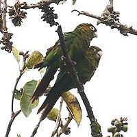 Pyrrhura hoffmanni -Costa Rica-4-4c.jpg
