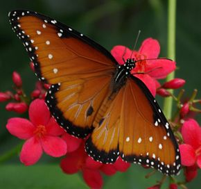 Description de l'image Queen butterfly (Danaus gilippus), 2008.jpg.