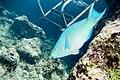 Queen parrotfish Scarus vetula terminal phase (3471718081).jpg