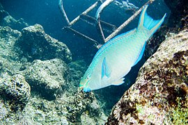 Queen parrotfish Scarus vetula terminal phase (3471718081).jpg