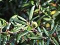 Quercus ilex Dąb ostrolistny 2017-10-15 03.jpg