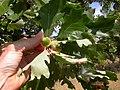 Quercus macrocarpa (5108085382).jpg