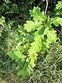 Quercus pubescens, Fagaceae 09.jpg