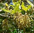 Quercus saltillensis 2.jpg