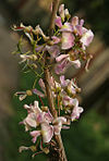 Quickstick (Gliricidia sepium) flowers in Kolkata W IMG 4056