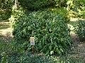 RBG Paeonia suffruticosa.jpg
