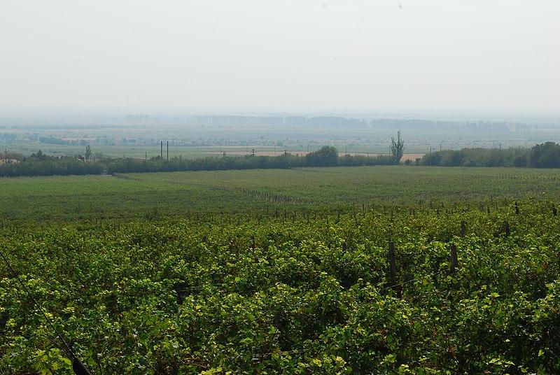 RO BZ Pietroasele vineyard.jpg