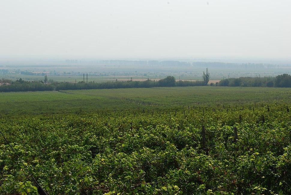 RO BZ Pietroasele vineyard