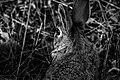 Rabbit in black and white.jpg