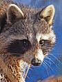 Raccoon - Procyon lotor, Veterans Park, Woodbridge, Virginia.jpg