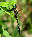 Racket-tailed Emerald, male.jpg