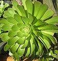 Radial succulent.jpg