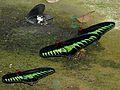 Rajah's Brookes Birdwings (Trogonoptera brookiana) males (6635665695).jpg