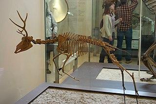 <i>Ramoceros</i> genus of mammals