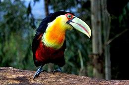Ramphastos dicolorus -Brazil-8 (1)