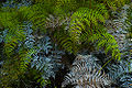 Rangitoto Tangle fern.jpg