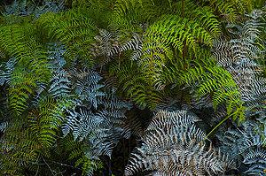 Bracken fern, Pteridium esculentum, Rangitoto ...