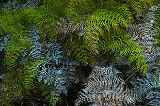 Rangitoto Island - Bracken fern, Pteridium esculentum, Rangitoto Island.